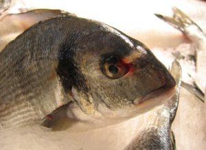 fisch-kategorie