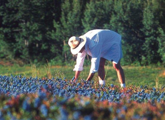Kanadische Wildblaubeeren