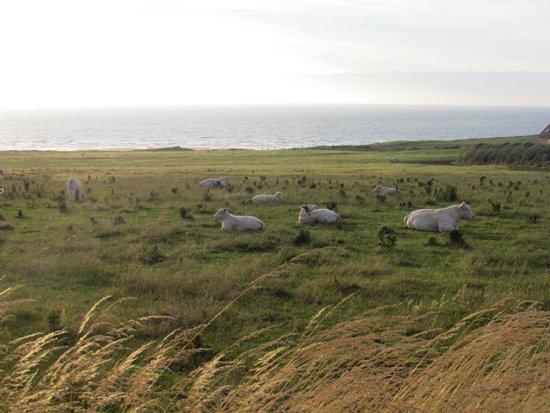 normandie-kühe
