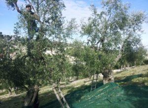 olivenoel-ernte