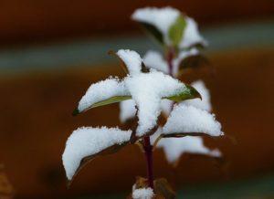 winter-schneeblatt