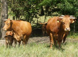 Limpurger Rind - Herde mit Kühen und Kälbern