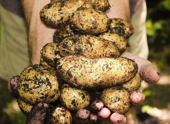 Kartoffeln Sattmacher