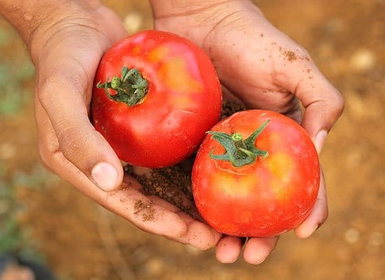 Tomatensaison